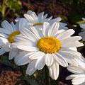 семицветик