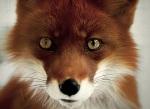 fearless fox