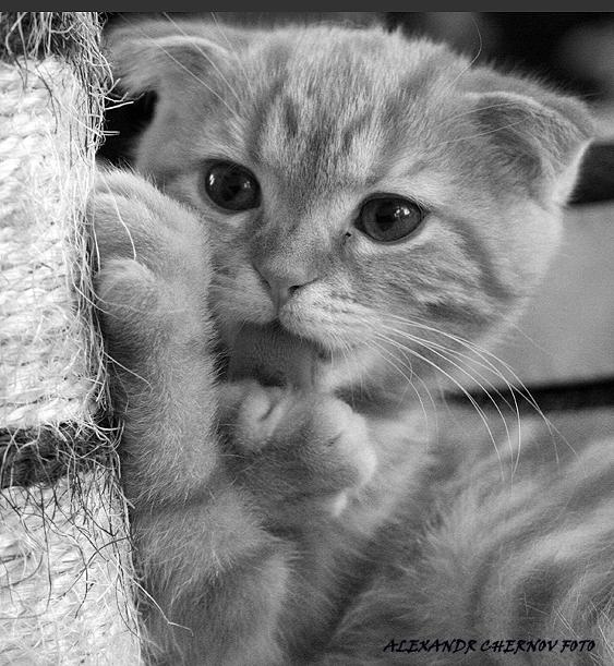 Алмазная Кошка