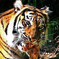тигра-тигра