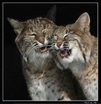 LynxRufus