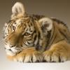 Тиграша