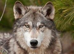Северный волк