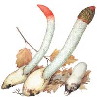 Mutinus caninus (Huds)Fr