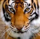 Nik_tigr